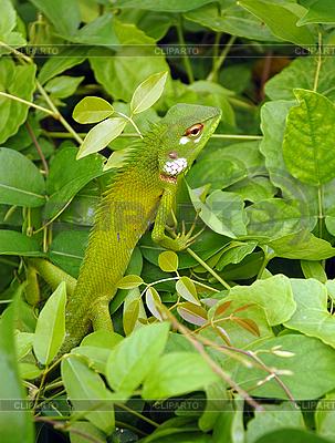Variable Lizard | Foto stockowe wysokiej rozdzielczości |ID 3115788