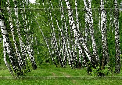 Birken im Sommerwald   Foto mit hoher Auflösung  ID 3113098