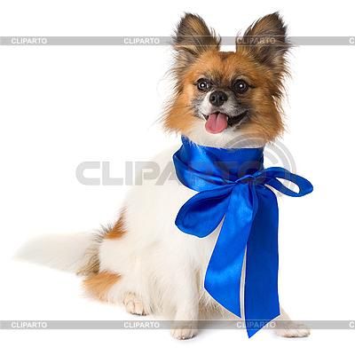 Pies rasy Papillon z niebieską kokardą | Foto stockowe wysokiej rozdzielczości |ID 3091103