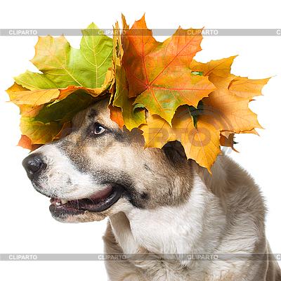 Hund im Ahornkranz | Foto mit hoher Auflösung |ID 3091105