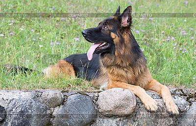 Owczarek niemiecki pies leży na trawie | Foto stockowe wysokiej rozdzielczości |ID 3092974