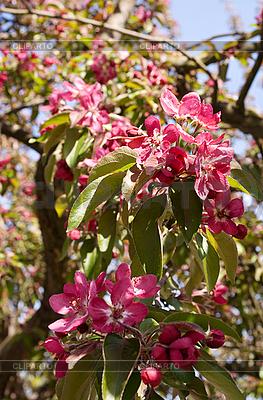 Kirschblüten | Foto mit hoher Auflösung |ID 3105767