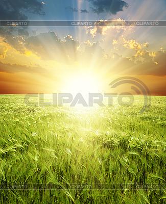 Kłosy pszenicy zielony pod sunrays | Foto stockowe wysokiej rozdzielczości |ID 3091277
