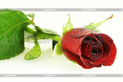 Świeża czerwona róża z kroplami | Foto stockowe wysokiej rozdzielczości |ID 3091563