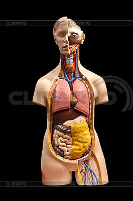 Modell der inneren Organe des Menschen | Foto mit hoher Auflösung |ID 3098814