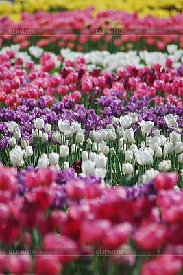 Tulipany | Foto stockowe wysokiej rozdzielczości |ID 3115576