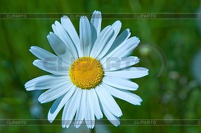 Kamille | Foto mit hoher Auflösung |ID 3112149