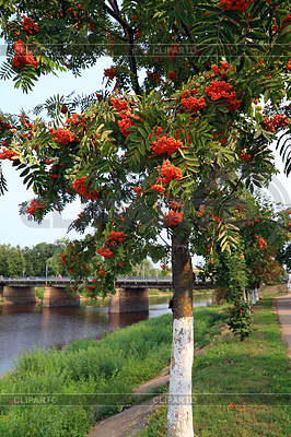 해안 강 공원에서 마가목의 열매 | 높은 해상도 사진 |ID 3249108