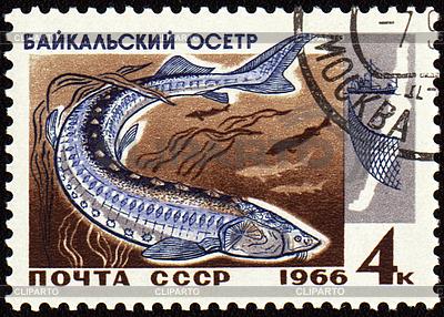 Baikal-Stör auf Briefmarke | Illustration mit hoher Auflösung |ID 3181142