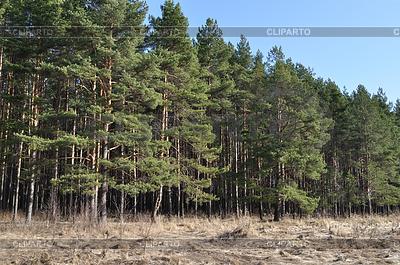 Krawędź las iglasty w czasie wiosennych | Foto stockowe wysokiej rozdzielczości |ID 3220298