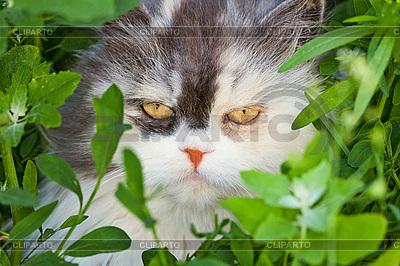 Straszna morda puszysty kot dom | Foto stockowe wysokiej rozdzielczości |ID 3148839