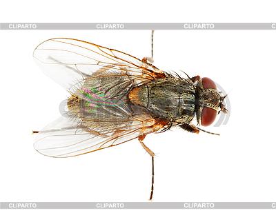 Zwykła mucha | Foto stockowe wysokiej rozdzielczości |ID 3150012
