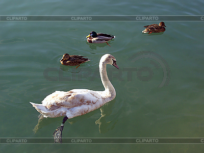 Ein junger weißer Schwan und drei Enten   Foto mit hoher Auflösung  ID 3179421