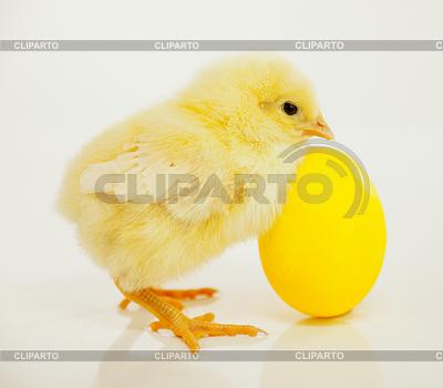 Neugeborenes Küken mit gelbem Ei | Foto mit hoher Auflösung |ID 3230202