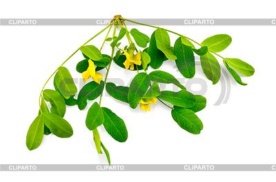 Веточка акации цветы с желтыми