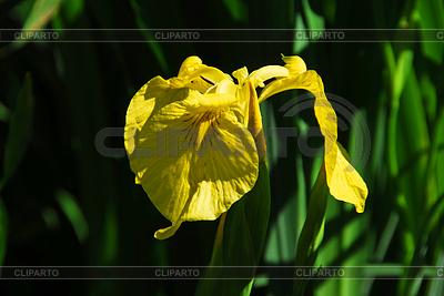 Gelbe Lilienblüte | Foto mit hoher Auflösung |ID 3227375