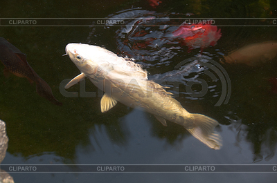 Koi stock fotos und vektorgrafiken cliparto for Koi fische im gartenteich