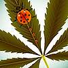 Vector clipart: ladybugs on cannabis leaf