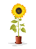 Vector clipart: Potted sunflower