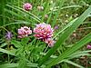Clover flowers | Stock Foto