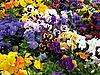 Pansies flowers | Stock Foto