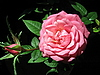 Photo 300 DPI: Pink rose flower