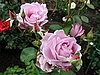 Two pink roses | Stock Foto