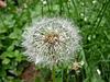 White dandelion | Stock Foto