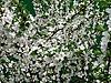 Blossoming apple tree | Stock Foto