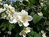 Blossoming jasmine | Stock Foto
