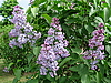 Blossoming lilac | Stock Foto