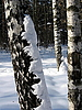 Birch in snow | Stock Foto