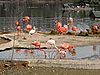Photo 300 DPI: Flamingoes
