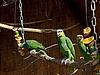 Photo 300 DPI: Green parrots