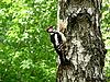 Woodpecker on tree | Stock Foto
