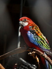 Photo 300 DPI: Red parrot