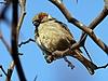 Photo 300 DPI: Sparrow
