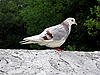 Photo 300 DPI: White pigeon