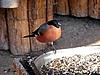 Photo 300 DPI: Bullfinch at the feeding trough