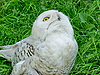 Photo 300 DPI: White owl