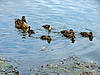Duck family | Stock Foto