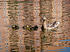 Photo 300 DPI: Duck with ducklings