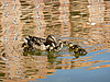 Ducklings with Duck | Stock Foto