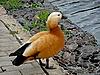 ID 3010975 | Pomarańczowy kaczka w pobliżu wody | Foto stockowe wysokiej rozdzielczości | KLIPARTO