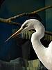 White heron   Stock Foto