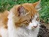橙色猫   免版税照片