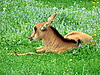 Photo 300 DPI: Antelope kid on lawn