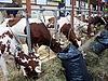 奶牛   免版税照片