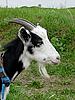 山羊   免版税照片