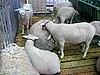 羊群   免版税照片